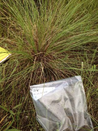 Native plant bluebunch wheatgrass
